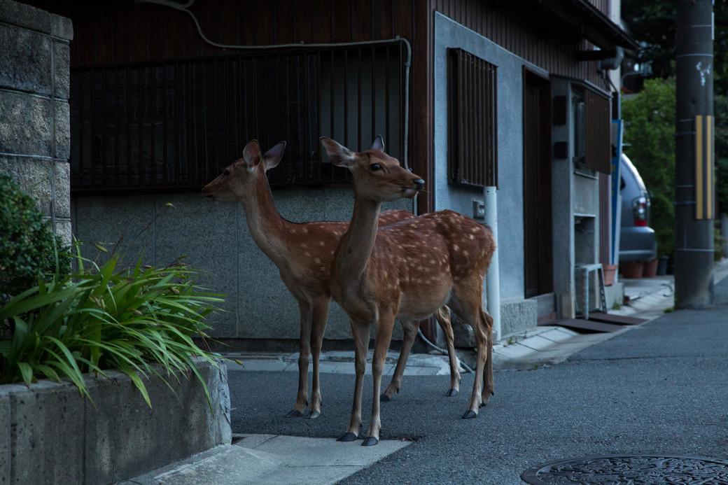 Nara deer Japan street dawn