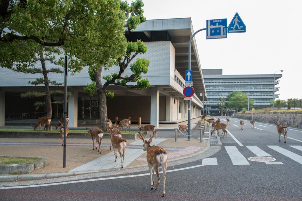 Nara deer Japan morning crosswalk