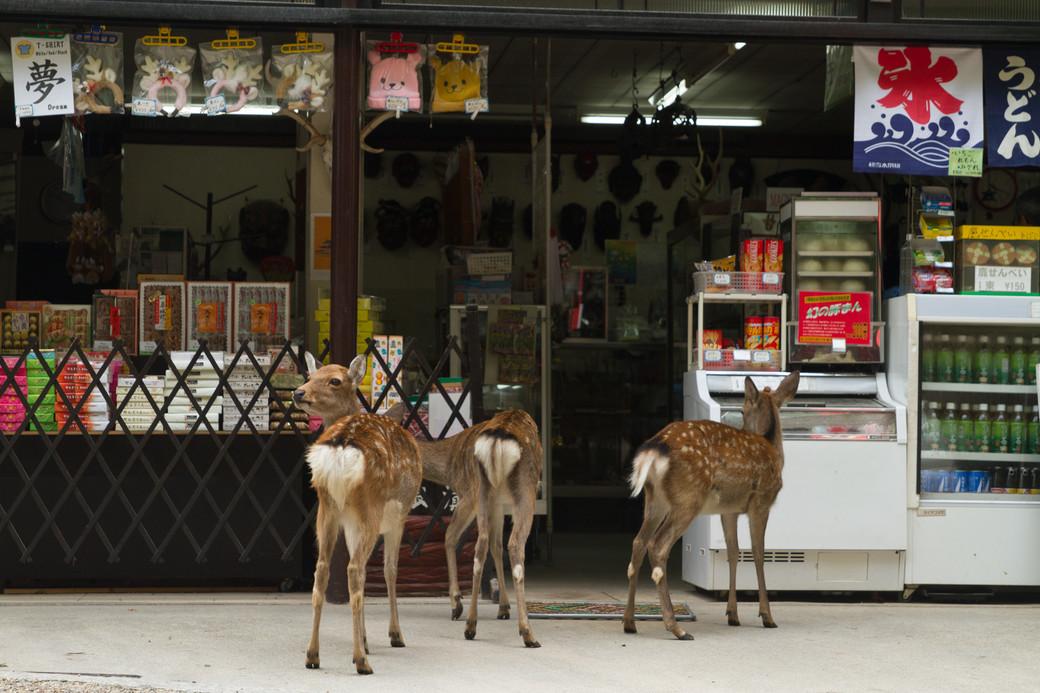 Sika deer approach store Nara Japan