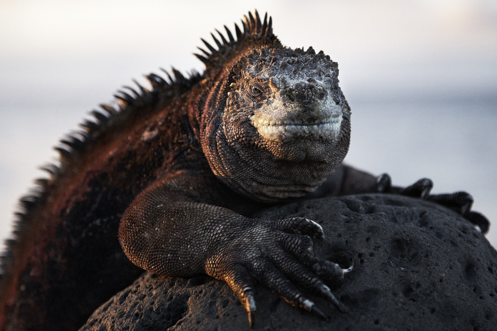 Marine_iguanas_scott_mac_donough_2