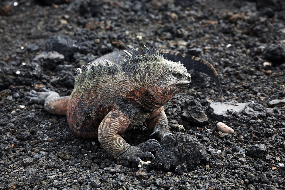 Marine_iguanas_scott_mac_donough_3