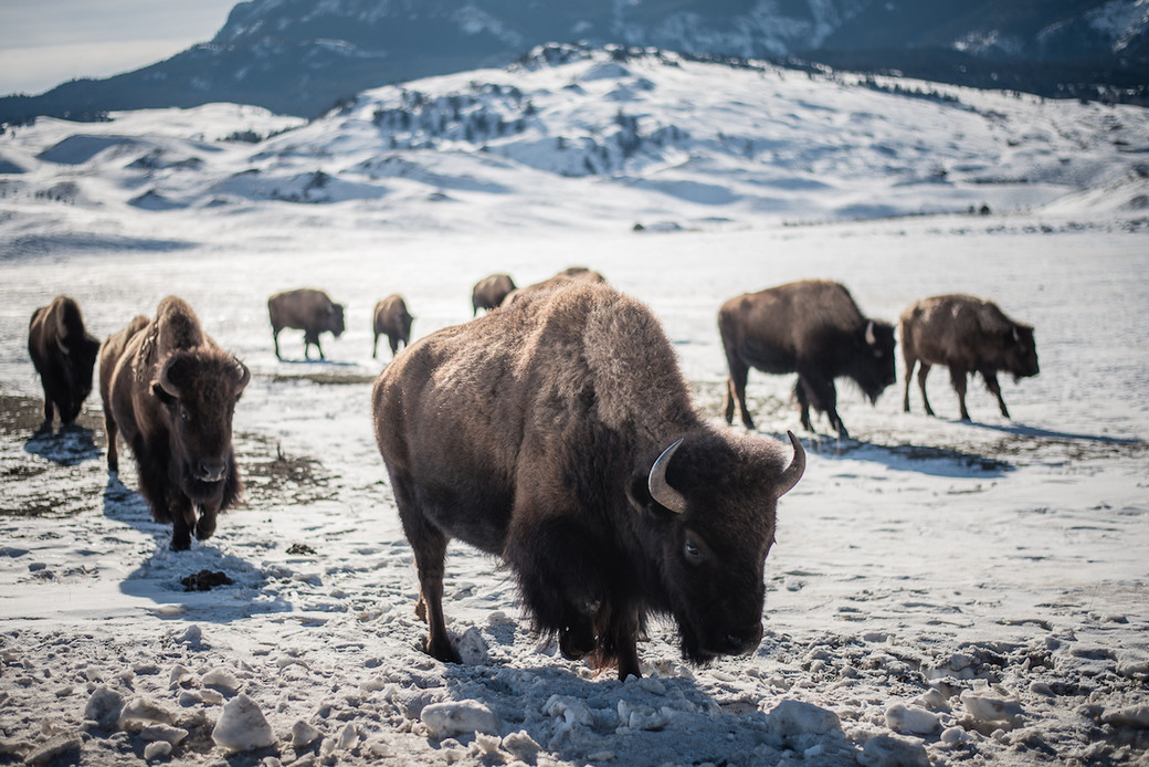 buffalo hunt Montana bison snow