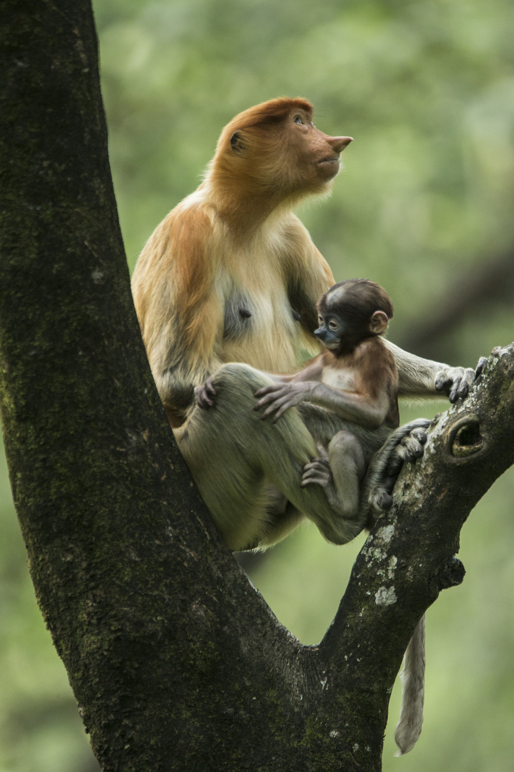 proboscis monkey baby Borneo rainforest