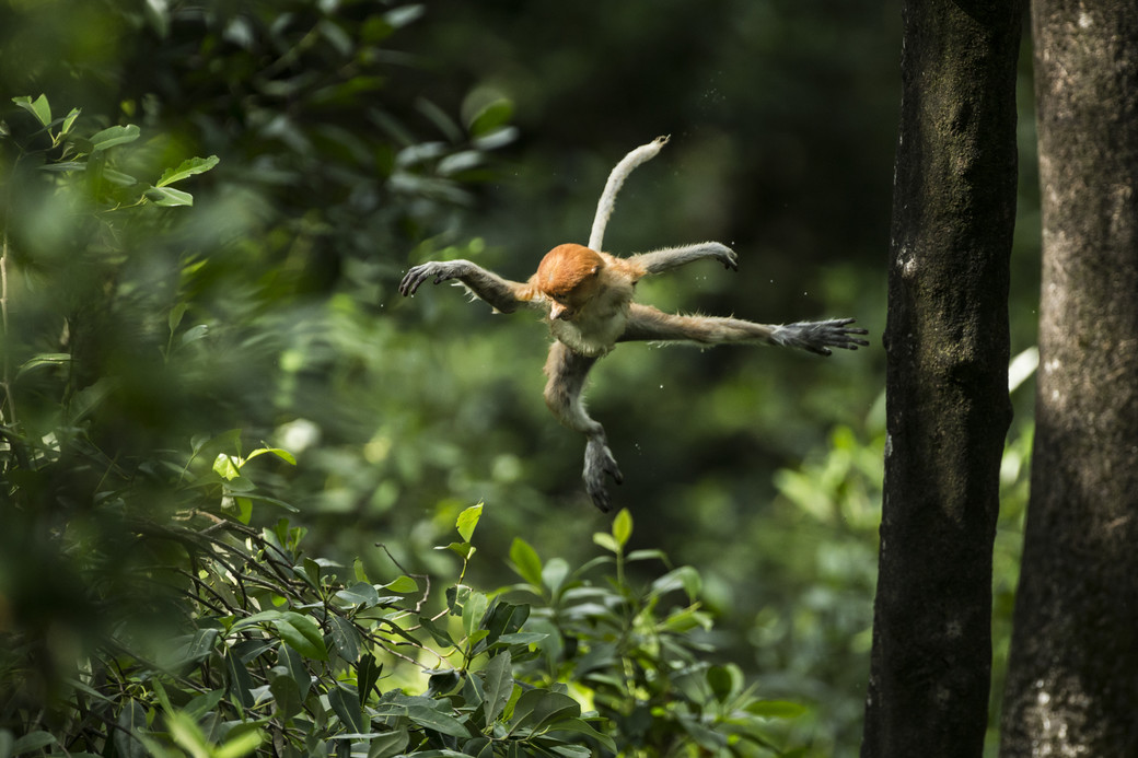 monkey leaping tree rainforest Borneo