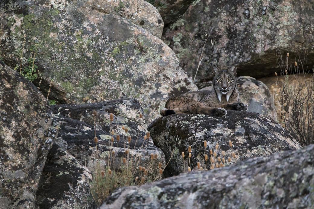 Iberian lynx rocks Spain