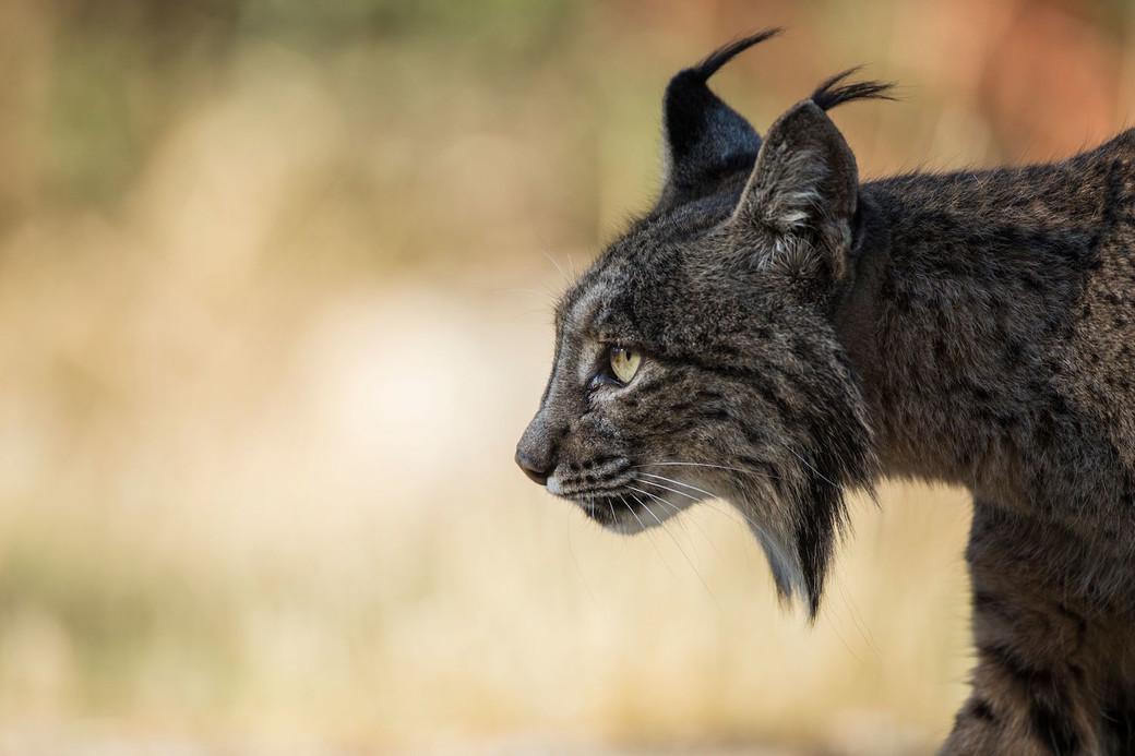 Iberian lynx Extremadura Spain