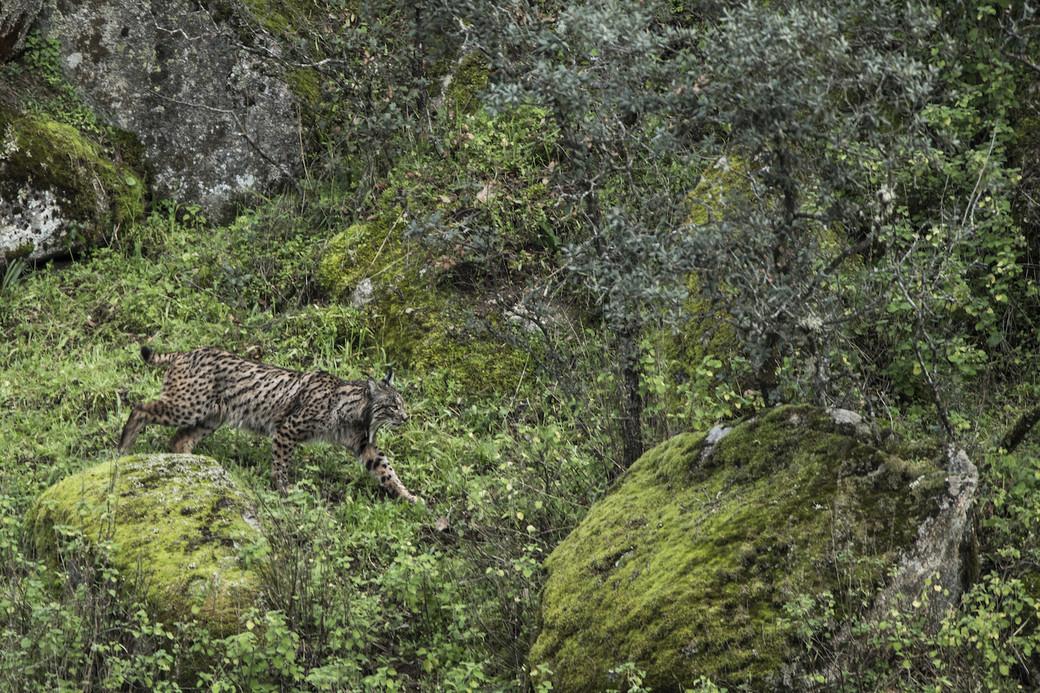 wildlife Sierra Andujar lynx wildcat