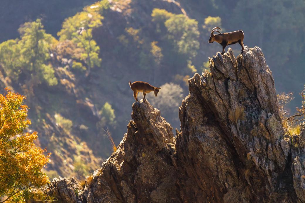 Iberian ibex pair Spain