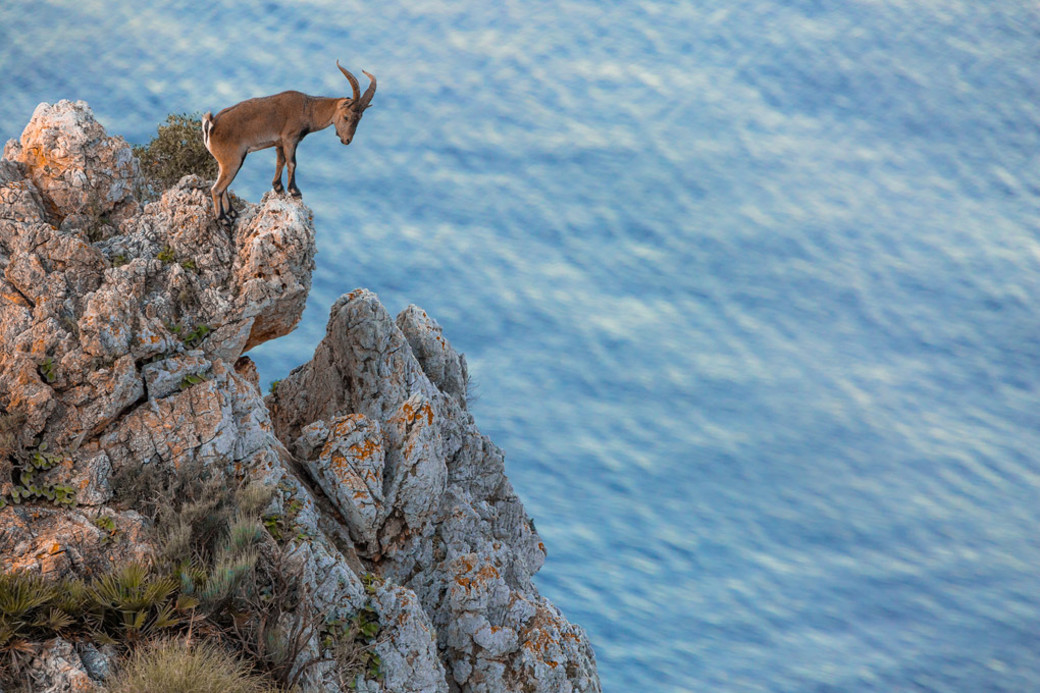 Spanish mountain goat cliff sea