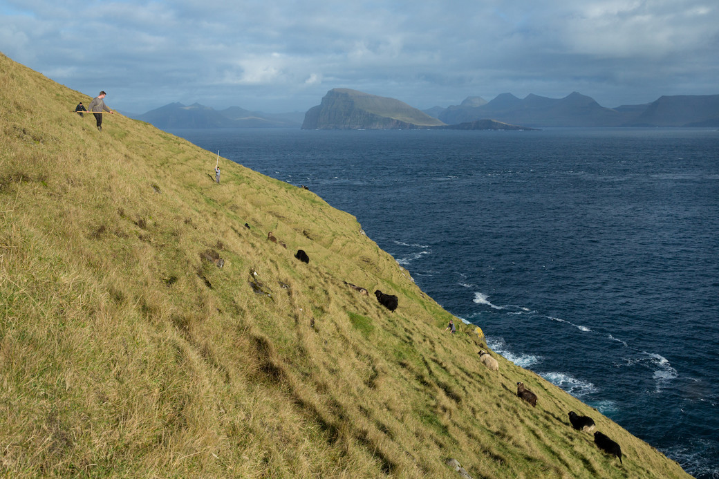 Faroe sheep muster steep slope