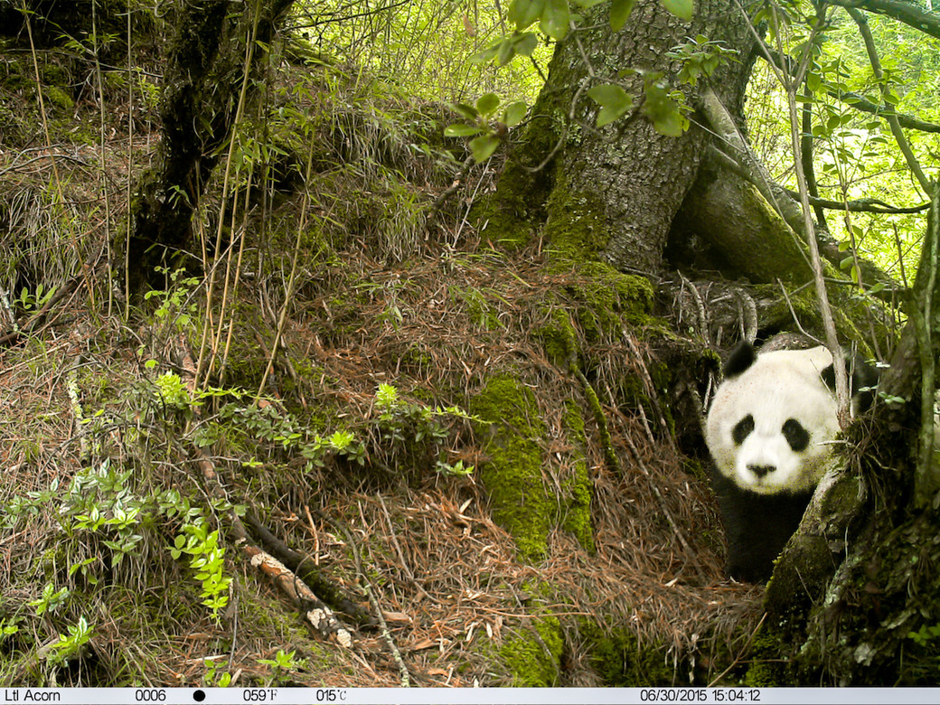 panda conservation camera trap China